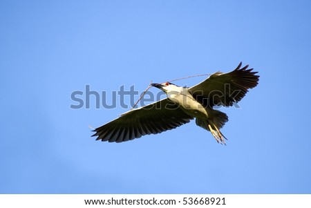 Black Crowned Night Heron with nesting material