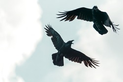 black crows fly spreading their wings, soft focus