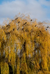 Black crows photographed next to the River Thames in a willow tree in Twickenham, west London UK on a clear, cold winter's day.