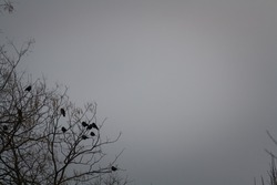 Black crows sitting on tree top. Birds sitting on bare tree branches in winter on dawn grey sky background.
