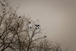 Black crows sitting on tree top. Birds sitting on bare tree branches in winter on grey sky background.