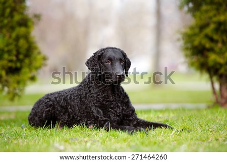black curly coated retriever dog lying down on the grass