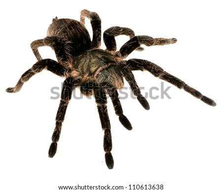 black curly-hair tarantula Brachypelma albopilosum isolated #110613638