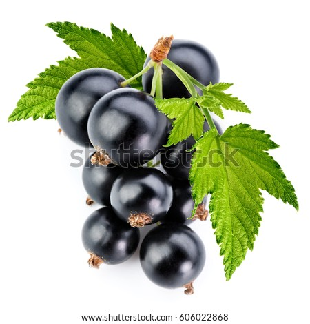 black currant branch isolated on white
