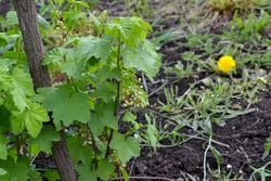Black currant. Ribes nigrum. Beautiful green spring background of nature. Spring green flowers on a tree branch. Black currant in bloom. Gardening, garden, flower