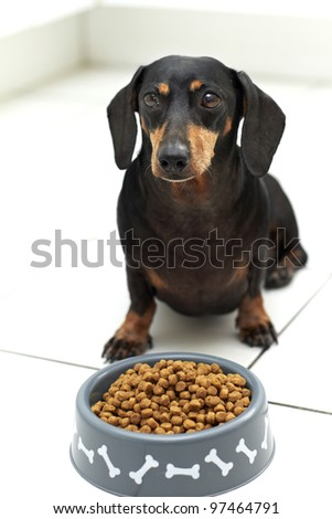 Black Dachshund breed sitting behind a full bowl of dog food awaiting command to eat
