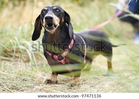 Black Dachshund dog barking in the park - stock photo