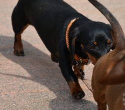 Black dachshund sniffing brown dachshund from behind and chasing
