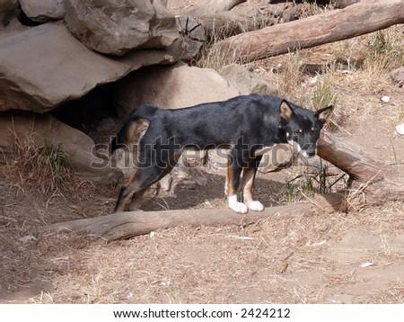 black dingo