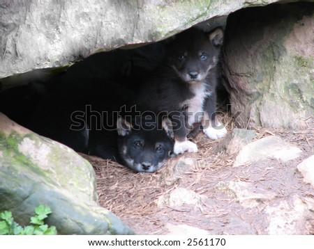 filhotes de cachorro pretos do dingo