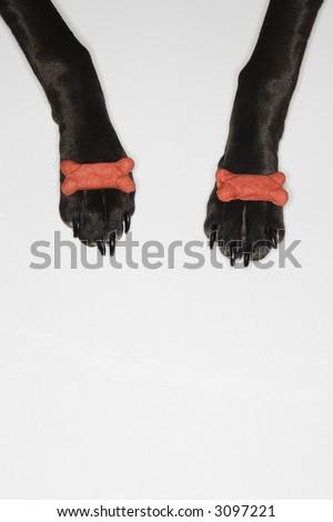 Black dog balancing dog bones on paws.