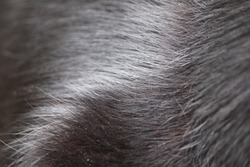 Black dog fur, sleek and flowing, coarse texture, nice sheen