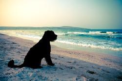 Black dog (giant schnauzer) watching at the twilight sea, split-toned.