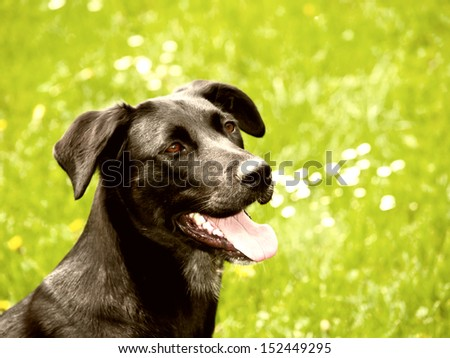 black dog (32) in the meadow, labrador mixed breed
