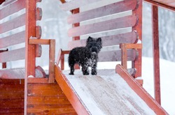 Black dog in the snow, Kern Terrier breed, stands on a snow wooden children's slide, wool in the snow in the Park