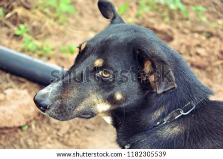 Black Dog looking