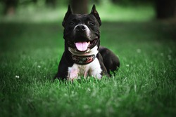 Black dog lying on the grass. Pit bull, black in color with white chest lying on the green grass. Collar with flowers on a black dog