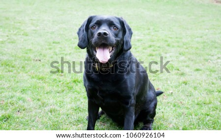 black dog on green grass with pink tongue hanging out