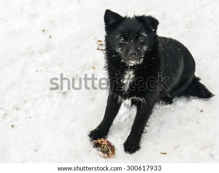 Black dog on the snow in Russia