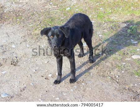 black dog outdoors #794005417
