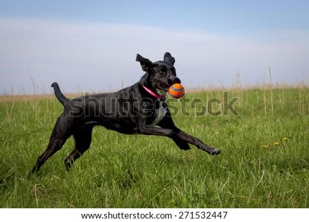 black dog running in green grassy field with orange ball