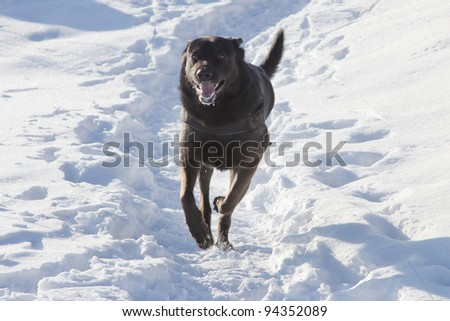 Black dog running in the snow