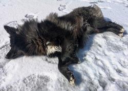Black dog sleeps on ice in winter.