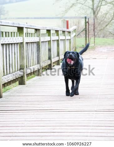 black dog trotting along wooden walkway