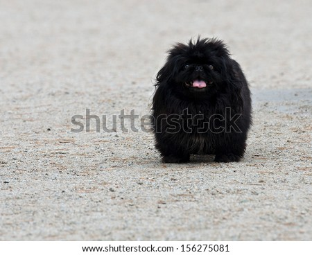 Black Dog walking in the park, Black fluffy puppy in the yard. Dog on granite in summer park. Funny black dog. Dog close up. Domestic animal. Domestic dog outside.