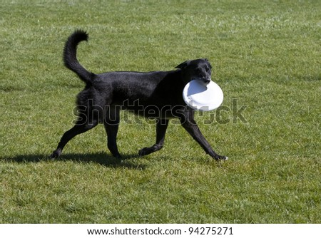 Black dog with frisbee in mouth