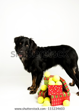 Black Dog with Pile of Tennis Balls for Christmas