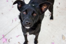 black dog with pity eyes. cute rescued mutt