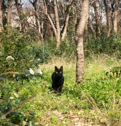 black domestic cat hunts alone in the wooded area.  Felis silvestris catus. Alley Cat. Selective Focus Cat