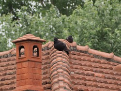 black domestic pigeon bird on a roof beside a chimney