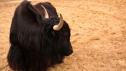 Black domestic yak bull. Himalayan animal. Sand on the background, place for text. Farming, animal husbandry or zoo concept