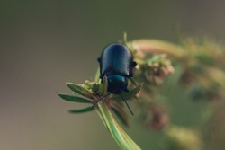 Black Dor beetle, Anoplotrupes stercorosus, on green stem in Summer