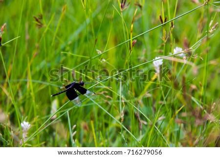 black Dragonfly sitting on Cyperus rotundus #716279056