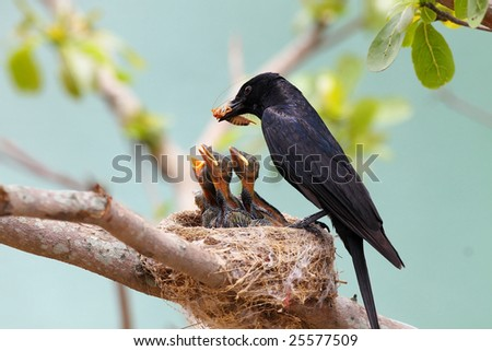 Black Drongo, Dicrurus macrocercus