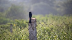 Black drongo or King Crow or Dicrurus macrocercus Small Asian Beautiful passerine bird with a distinctive forked tail sitting on iron and stone pillar fence in Trichy District, Tamilnadu, South India