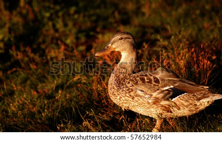 black duck at sunset, with grass background