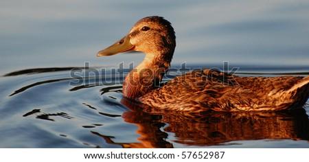 black duck facing sunset, profile view, horizontal - stock photo