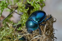 Black dung beetle with a bluish sheen (Geotrupes stercorarius) in a forest. Dung beetle on the bark of an old tree stump, selective focus, close-up, macro.