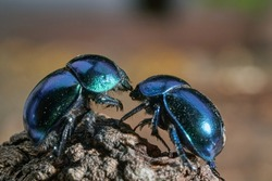 Black dung beetles with a bluish sheen (Geotrupes stercorarius) in a forest. Dung beetles on the bark of an old tree stump, macro, selective focus.