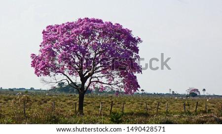 Black ebony flowered tabebuia impetiginosa in the Pantanal