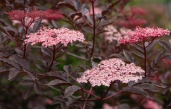Black elder (Sambucus nigra), close up of the flower head
