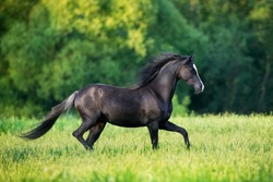 Black elegance horse running outdoors in the field. Black Welsh pony trotting freedom in the meadow in summertime.