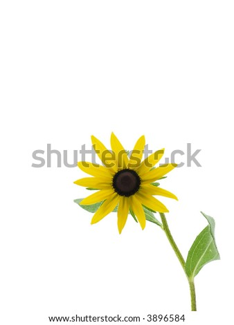 Black-eyed Susan - stock photo