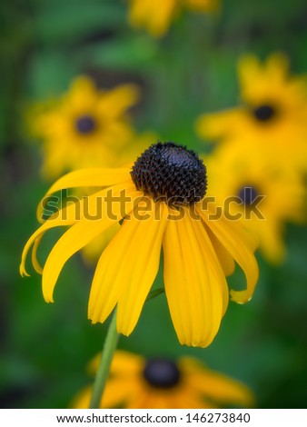 Black-eyed Susan (Cone Flower) flower in full bloom with others in background - vertical photo..