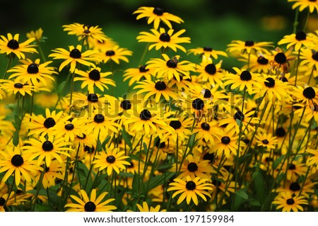 Black Eyed Susan - Flower