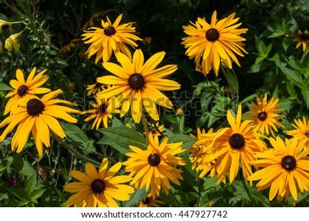 Free photos black eyed susan goldsturm bright yellow flowers with bright yellow flowers with brown center in the green summer garden mightylinksfo